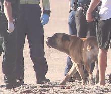 A local fisherman who discovered the body of a 60-year-old man in the surf at the eastern end of Papamoa Beach says a dog, pictured, was sitting in the dunes nearby guarding the body. Photo: NZ Herald