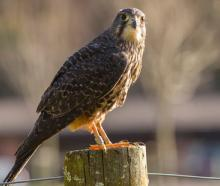 DoC investigate after young protected falcon shot dead. Photo: NZ Herald