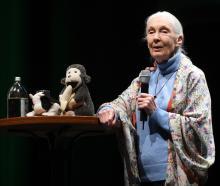 British primatologist Dr Jane Goodall speaks at the Regent Theatre last night. Photo: Gregor Richardson