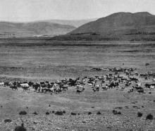 A valuable mob of cattle near Hakataramea: view at Mr J. A. Sutton's Waitangi Station. - Otago...