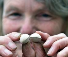 Dunedin Botanic Garden propagation service officer Alice Lloyd-Fitt with gingko tree seeds. Photo...