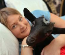 Four-month-old orphan goat Ava snuggles up with Kim Hsiang in Dunedin yesterday. Photo: Stephen...