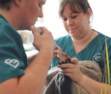 Vet nurse Angelina Martelli holds Widget the takahe while wildlife vet Lisa Argilla pries open...