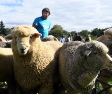Cream of the crop ... Andrew Hore yards Romney and merino entries at the recent Wanaka A&P...