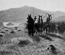 A reaper and binder working on a grain crop at Mr Miller's farm, Mt Barker, Lake Wanaka. - Otago...