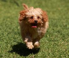A Cavoodle is a cross between a poodle and a Cavalier King Charles Spaniel. Photo Getty