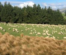 Ewes graze on the Wallace family farm. PHOTO: SALLY RAE