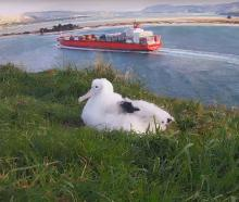 The Taiaroa Head royal albatross chick - nicknamed Dora because of her habit of wandering - is...