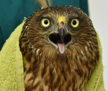 The injured harrier hawk at the Dunedin Wildlife Hospital.