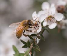 Manuka honey grower and manufacturer Comvita hopes the next honey harvest betters the past two....