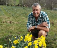 Gordon Coombes in a paddock which in coming weeks will be carpeted in daffodils. Photo: Chris Tobin