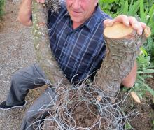 Owen Blanch, of Roxburgh, was surprised recently after cutting down a tree to find an old magpie...