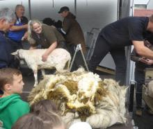 A newly short Suzy stands near her 14.6kg fleece. Photo: Supplied via RNZ