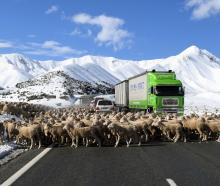 John Munro musters merino wethers towards the Lindis Pass summit during a 67km journey between...