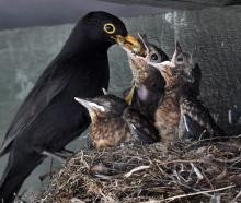 A blackbird feeds its chicks outside the Otago Golf Club pro shop. Photos: Stephen Jaquiery