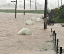 Baleage bobs in the lower ponding area of the Taieri after last month's floods. Photo: Stephen...