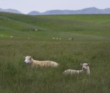 A ewe and lamb in lush grass beside State Highway 85 near Ranfurly. Photos: Stephen Jaquiery