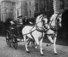Princess Mary driving her beautiful spirited white horses through the grounds of Windsor Castle,...