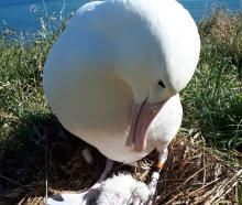"""A newly hatched """"Royal Albatross"""" chick with its parent at Taiaroa Head. Photo: Supplied"""