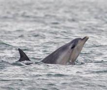 Bottlenose dolphins near Vauxhall on Sunday morning. Photo by Chris Stephenson/Monarch Wildlife...