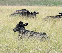 Young cattle chew their cud in the heat of the day in Central Otago. Photo: Stephen Jaquiery