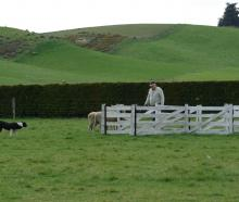 Peter Boys and his dog, Rick, move sheep into the Maltese cross at the Levels Sheepdog Club's Tux...