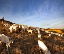Clinton farmer David Shaw and his goats. Photo: Supplied