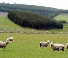 Concerns have been raised about the conversion of sheep and beef farms to forestry. Photo: Gerard...