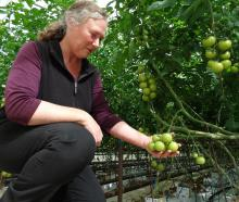 Kakanui Tomatoes co-owner Deborah Grant inspects the vines stripped of ripe fruit at her Kakanui...