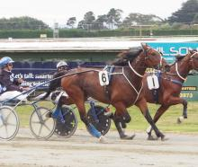 Majestic Man (foreground) in action at Ascot Park earlier this year. Photo: Bruce Stewart