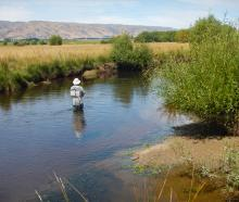 Murray Smart sues a diving beetle for a rising fish on the upper Taieri. Photo: Mike Weddell