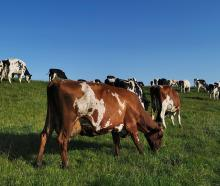 Ayrshire cow Fairleigh Burdette Annalva won Ayrshire New Zealand's Otago/Southland regional on...