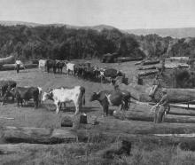 The kauri timber industry in North Auckland: Bullock teams hauling logs from the edge of the bush...
