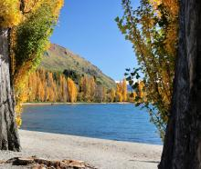 Yellowing poplars line Lake Wanaka. PHOTO: ANNA JOHNSON