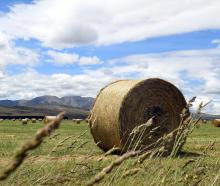 Baled winter feed near the Hawkdun Range is evidence of last year's wet spring, which led to...