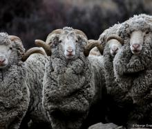 A line up of curious merino rams will feature as a mural on part of the new toilet block to be...