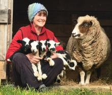 Sue Rissman was amazed when one of her ewes delivered quintuplet lambs on Sunday. PHOTO: STEPHEN...