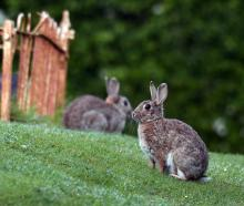 Rabbits at the Otakou Maori Cemetery yesterday. PHOTO: STEPHEN JAQUIERY