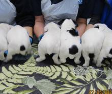 The puppies with their docked tails. Photo: Supplied via NZH