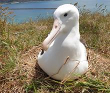 A northern royal albatross at the Taiaroa Head colony on Otago Peninsula. PHOTO: SUPPLIED
