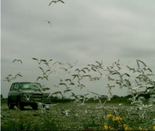 A truck driving through a gull colony in North Canterbury. Photo: Supplied / Ashley-Rakahuri...