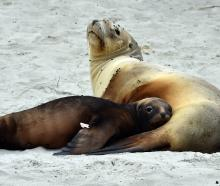 Pebble nurses her pup at the entrance to Tomahawk Beach last month. PHOTO: GREGOR RICHARDSON