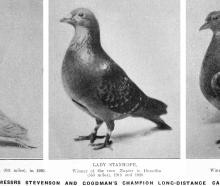 Messrs Stevenson and Goodman's champion long-distance carrier pigeons (from left) Silver Pearl,...