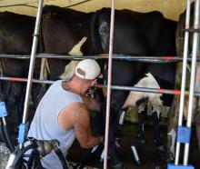 An Otago Corrections Facility inmate milks cows in Milburn. PHOTOS: SHAWN MCAVINUE