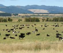 Some of the cows grazing on Cameron Family Farms. Photo: Supplied via RNZ
