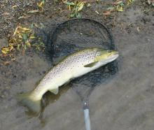 A prime Pomahaka trout taken on the nymph. PHOTO: MIKE WEDDELL