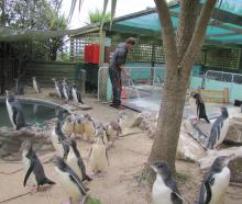 A volunteer cleans up at Penguin Place. Photo: Supplied.