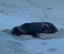 A sea lion was bitten by what appeared to be a great white shark near Allans Beach, Dunedin....