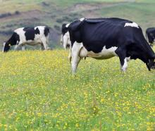 Milk production could fall short of what the market is expecting. Photo: Stephen Jaquiery