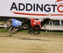 Greyhounds racing at Addington. Photo: File